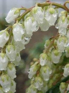 Wholesale White Pieris Japonica