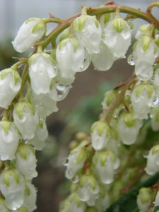Spring Blooming White Pieris Japonica