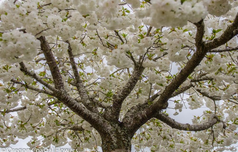 White Flowering Cherry Branches