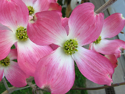 Easter Flowering Branches Flowering Dogwood