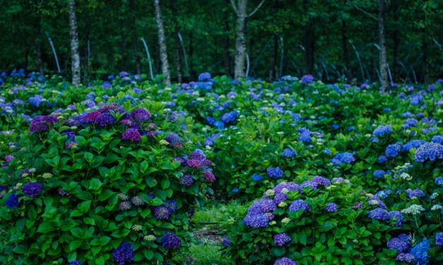 Big Blue, Purple, & Lavender Hydrangea