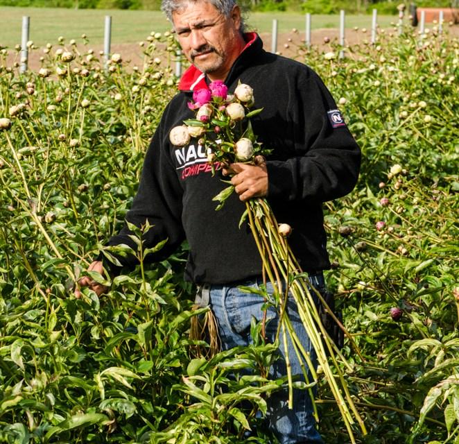 Early Season American Grown Peonies