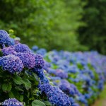 Beautiful Hydrangea Wedding Flowers