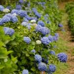 Blue Hydrangea Wedding Flowers
