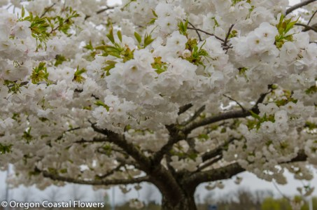 Single Blooming White Cherry Blossoms