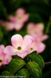 Flowering Dogwood Specialty Cut Flowers