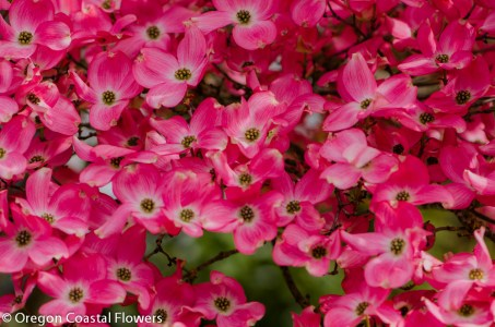 Pink Flowering Dogwood Branches