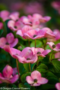 Specialty Cut Pink Flowering Dogwood