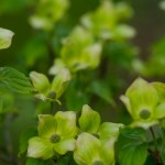 Wholesale Blooming Dogwood Branches