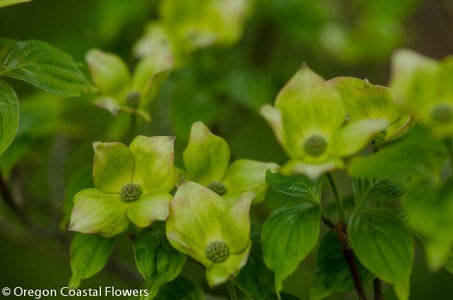 Wholesale Flowering Dogwood Branches