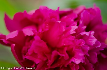 Dark Pink Peony Wedding Flower