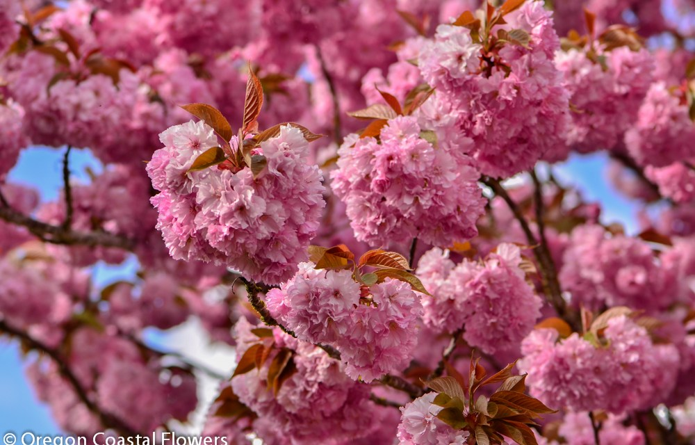 Double Blooming Pink Cherry Blossoms