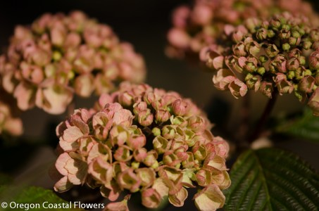 Pink Snowball Viburnum Wedding Flowers