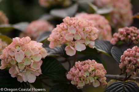 Wholesale Pink Snowball Viburnum