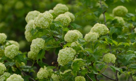 Greenish-White Snowball Viburnum