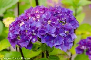 Purple Hydrangea Bloom
