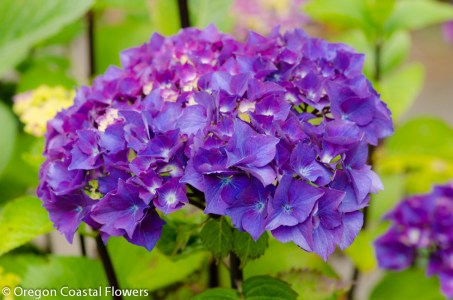 Purple Hydrangea Bloom