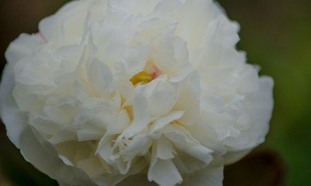 6.04.20 Full boxes of wholesale white peonies.