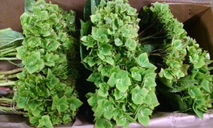 Bright Leprechaun Green Hydrangeas