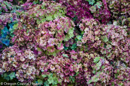 Amazing Antique Double Lavender Hydrangea