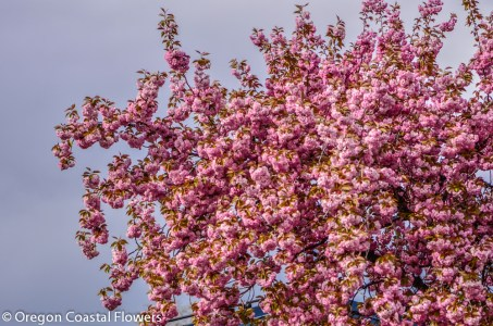 Flowering Pink Cherry Tree
