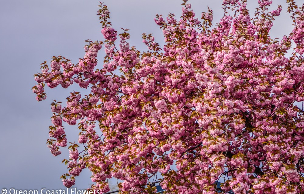 6.22.20 Pink Cherry Flowering Branches