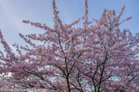 Pink Cherry Flowers