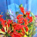 Gloriosa Lily Blooms