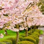 Flowering Pink Cherry