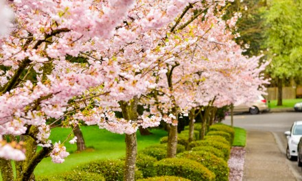 3.02.19 Pink Cherry Blossoms Wholesale Flowers, Double Pink Cherry Branches