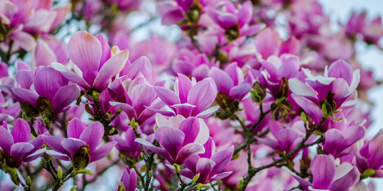 Blooming Tulip Magnolia Branches