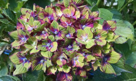 Tri-Color Pistachio Hydrangea