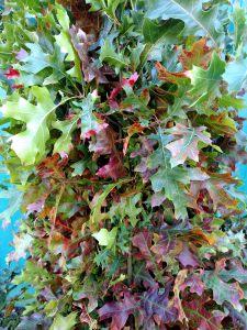 Fall Red Oak Leaves
