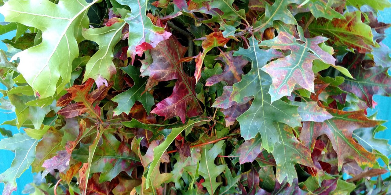 Green Oak Leaves and Oak Leaves Turning Orange