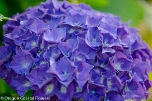 purple oregon pride hydrangea black stems