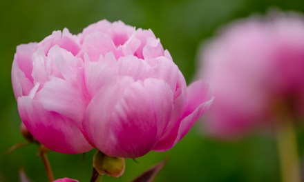 Pink Peony Oregon Coastal Flowers Peony Farm 6.01.17