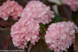 pink snowball viburnum