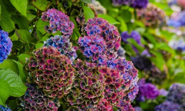 World Famous Antique Hydrangea in Jewel Tone Colors 8.14.17