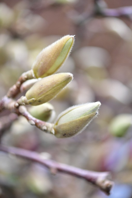 blooming tulip magnolia