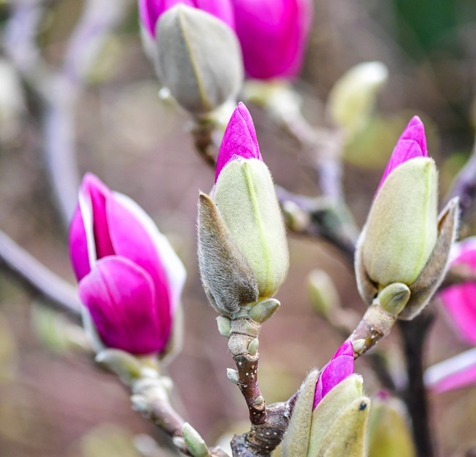 2018 Spring Flowering Branches Preview 1.01.18