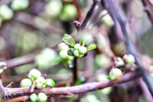 quince branches in bud stage