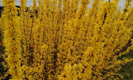 Forsythia branches for the Chinese New Year.