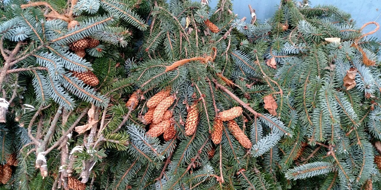 Hemlock with cones, spruce with cones, specialty greens for Christmas.