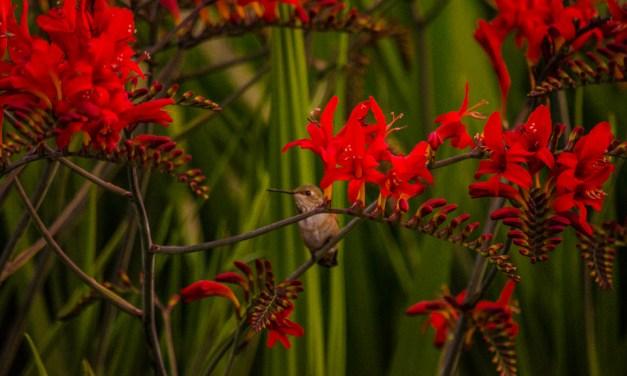 Montretia Lucifer Crocosmia Fresh Cut Flowers & Montbretia Pods 7.20.17