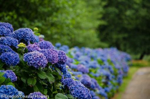 oregon coastal flowers hydrangea blue, purple, white, lavender, green, antique, and more hydrangea colors.