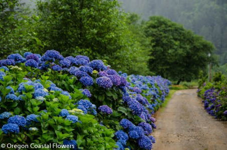 beautiful hydrangeas-3