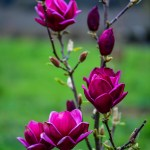 black dark purple tulip magnolia flowering branches