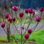 black magnolias