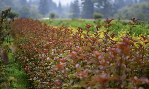 6.13.19 Ninebark Autumn & Diablo Ninebark for cut foliage use.  Mock Orange cut foliage too.