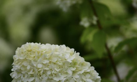 8.29.19 Limelight Hydrangea, Green limelight hydrangea fresh and blush/cream when again.  Brown when fully antique.